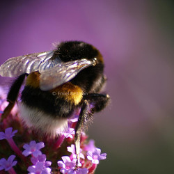 Hommel op vlinderstruik