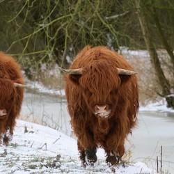 Hooglanders in de sneeuw