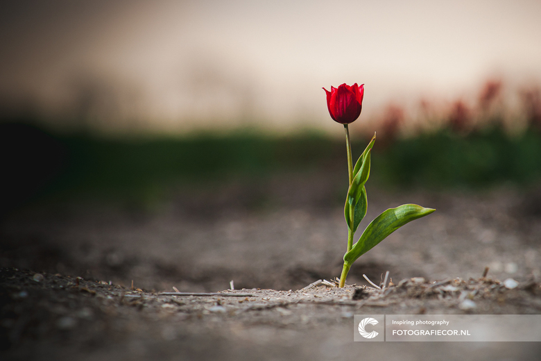 The lonely tulip - Een foto waarmee ik ooit een fotowedstrijd wist te winnen met de tulp als hoofdonderwerp. Gemaakt tegen de zonsondergang met een en