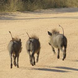 3 little hakuna's in Krugerpark