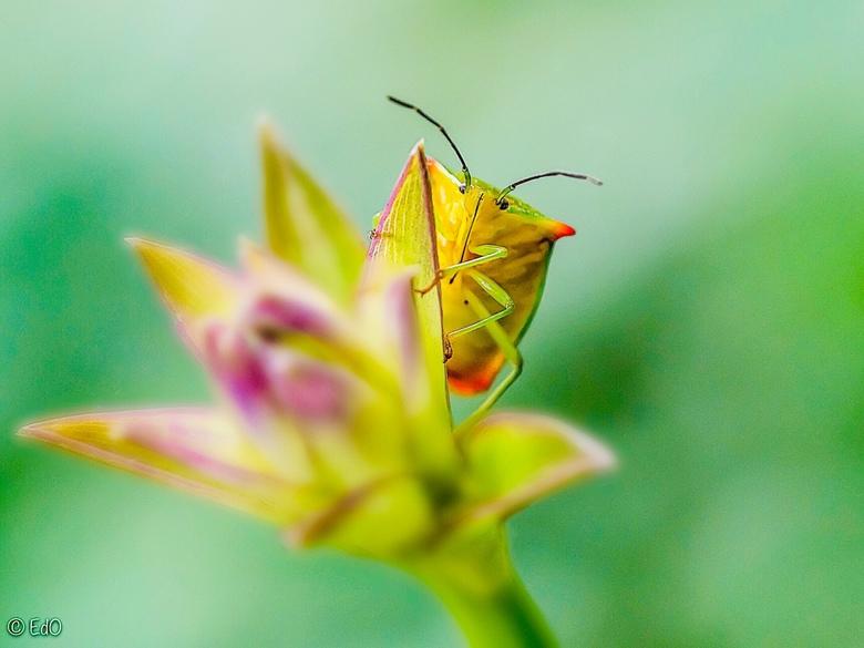 It's a bugs life - Wants is 1 cm groot en zat op mijn statief. Heb m terug op de plant gezet en daar ging hij aan de wandel. Dus snel een foto gemaakt