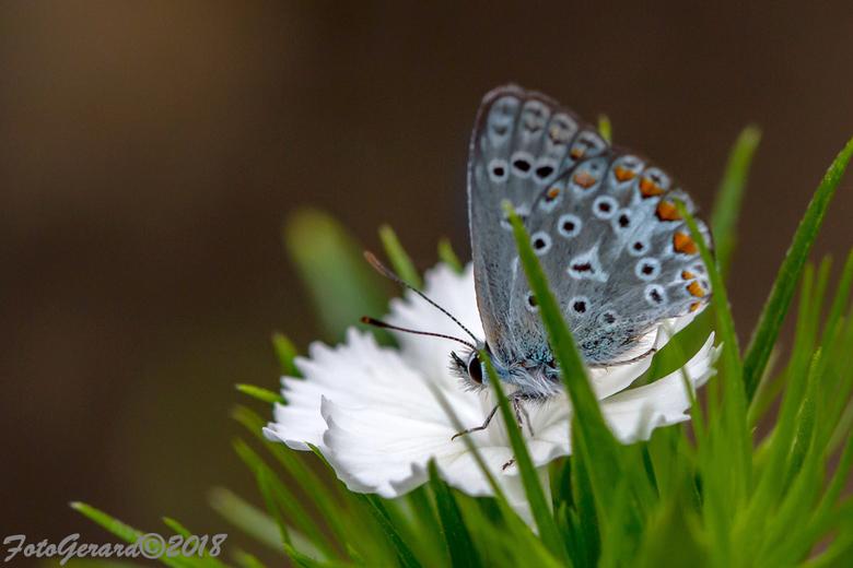 Kleine heide vlinder - Gisteren plots in de tuin op een blometje.<br /> Is amper 1 cm groot en heeft een pachtige tekening.<br /> Met vriendelijke g
