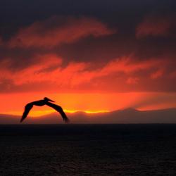 zonsondergang met pelikaan