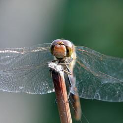dragonfly Gold wings fotoroom