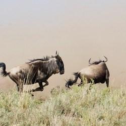 migratie van de wildebeest