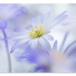 Dromen met anemonen