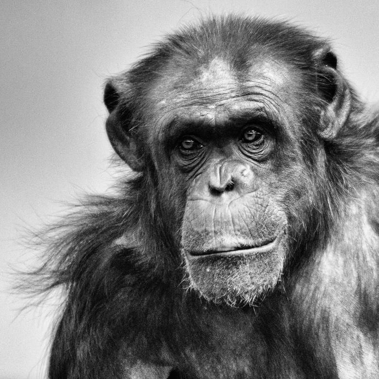 Chimpansee - Mentoraat 4 -