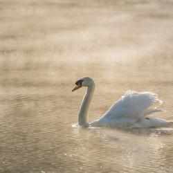 Swan, misty sunrise