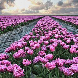 Tulpen uit Friesland