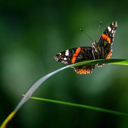 Atalanta of admiraalvlinder