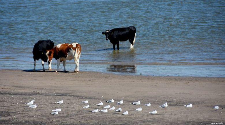 Verfrissing - Ook koeien vinden pootje baden lekker.