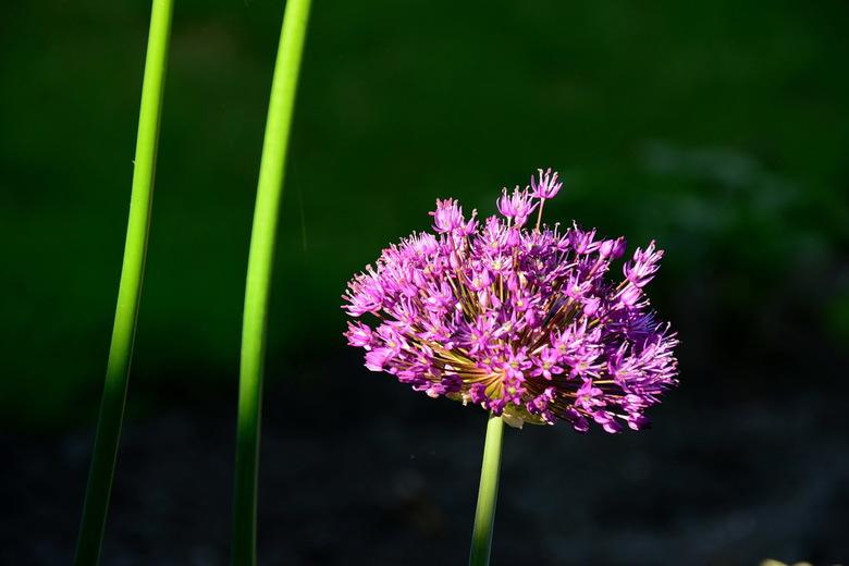Allium - Allium op hoge stelen