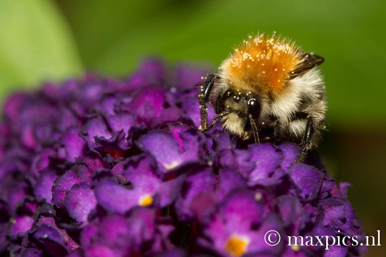 bezig bezig bezig - Een bepaald soort hommel die nectar aan het zoeken is en tegelijk bloemen aan het bestuiven.