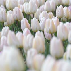 Een zee van Tulpen