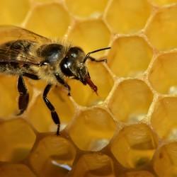 Bij op honingraat