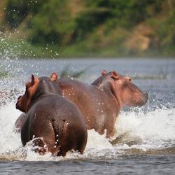 Nijlpaard in Oeganda 3