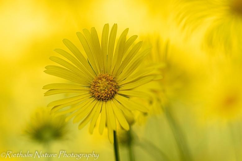hartbladzonnebloem - Prachtige bloemen. Verrast door deze bloemen aan een bosrand.