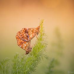 Parende Purperstreepparelmoervlinders