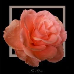 La Rosa ....