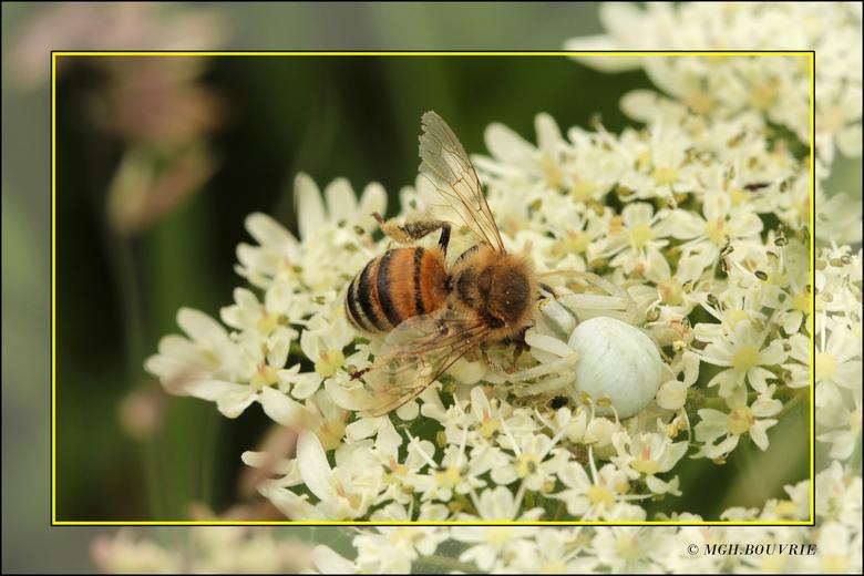 Kameleonspin - Bij gevangen door een Kameleonspin.<br /> Deze spin wacht geduldig op zijn prooi en als deze op de bloem gaat zitten valt hij aan.