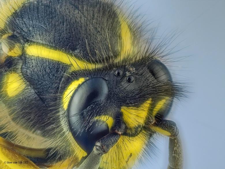 Wespje - Stack van een wesp