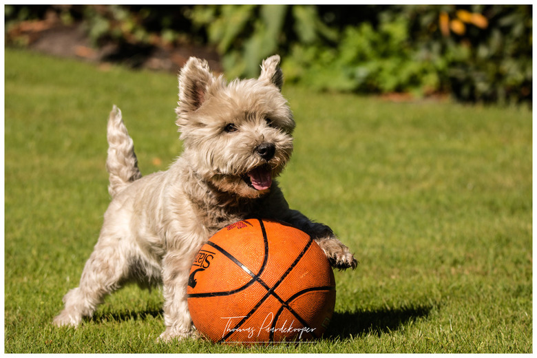 Spike-west highland terrier -