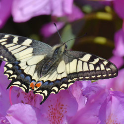 Papilio Machaon (Koninginnenpage)