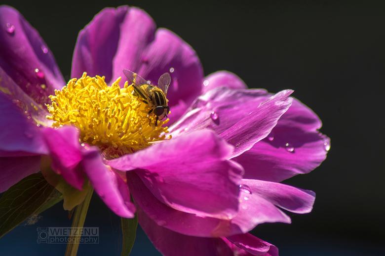 Pioenroosl - Mooie insect stilzittend op een bloeiende pioenroos