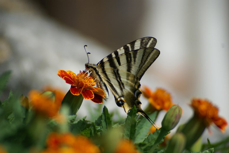 Mariposa de España - Natuurgebied La Garrotxa