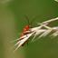 Soldaatje, Kleine rode weekschildkever of Rode weekschild