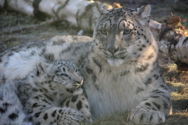 Moeder en kind - Deze moeder met zijn jong op de foto kunnen zetten in het Highland Wildlife park in Scotland afgelopen winter.