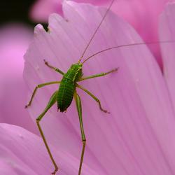 Op lange poten groene krekel macro foto van macmodus zoom altavistaventures Images