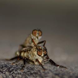 lover flies