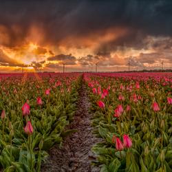 Tulpen tussen twee buien