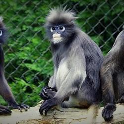 Zeldzame Brillangoeren Apen