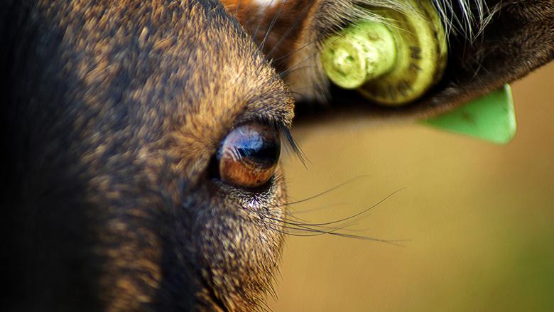 """Door de oog van de geit - """"Kijk me aan"""", zegt deze geit. Wachten staart hij naar je  en vraagt om aandacht."""