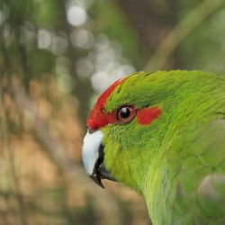 Papagaai groen