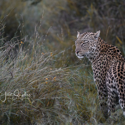 Luipaard in Zuid Afrika