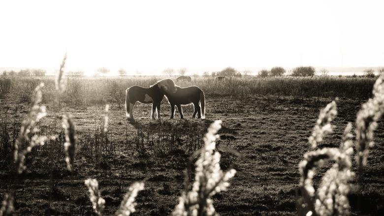 """Holland - Markiezaatsmeer - 2 paarden staan in bijna perfecte symmetrie tegen elkaar aan, genomen in het natuurgebied """"markiezaatsmeer"""" nabi"""