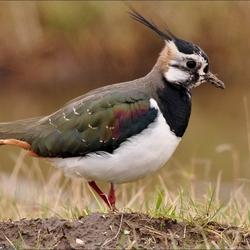 pracht vogels die kievit
