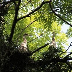 Reigers Op Het Nest