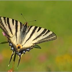 Verdronken Vlinder..