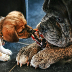 onze billie en Jo de Boxer