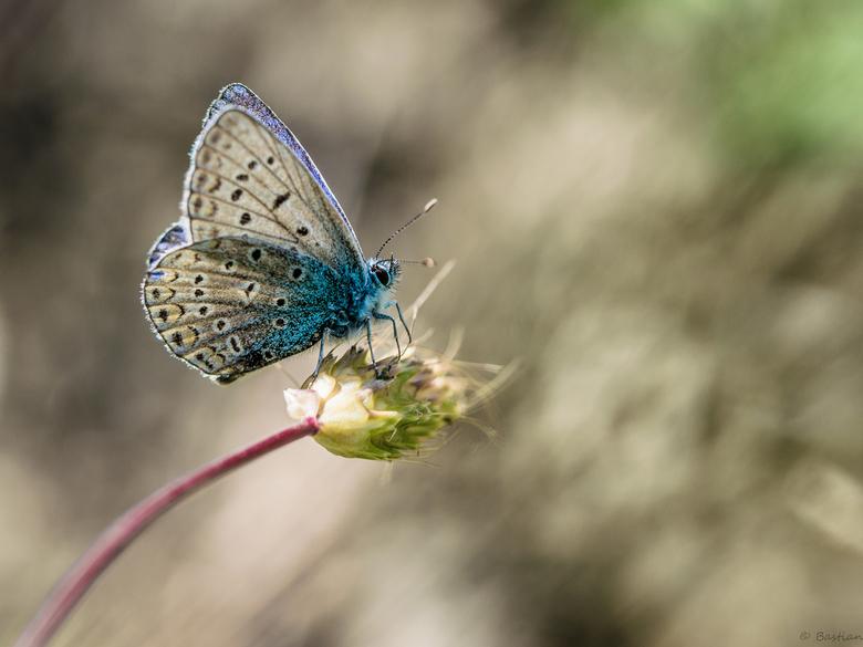 Adonis of Icarus? - Veel blauwtjes op Corfu te vinden. Ik ben alleen nog niet zo goed in het vaststellen van de soort. Kan iemand mij vertellen of dit