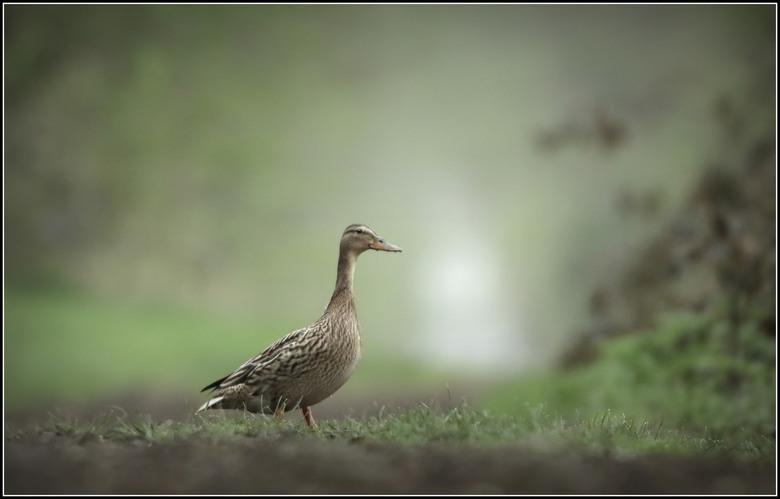 Zomaar een eend - Zaterdag ochtend vroeg op pad geweest in een gebied waar ik eerder dassen heb gezien , in de hoop er weer één te zien.<br /> Een da