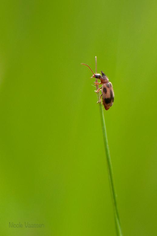 _DSC3935.jpg - De fot had scherper gekund, maar gegeven de harde wind en dat dit weer een heel klein beestje is op de top van een grasspriet, vond ik