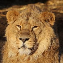 Jonge mannetje Leeuw