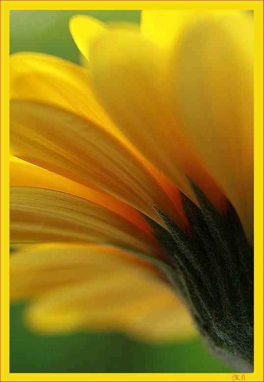 Gerbra - Een interessant mooie bloem.