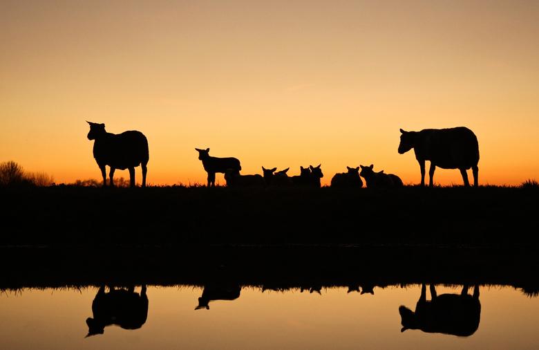Lenteavond - de lammetjes gaan slapen en de oude schapen houden de wacht, einde van een mooie lentedag.<br /> groeten, bert
