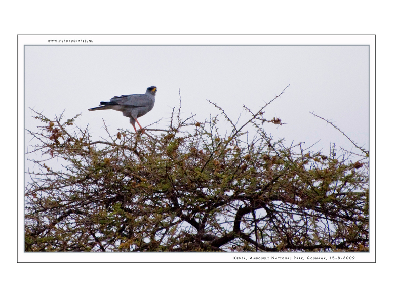 Pale Chantig Goshawk, Kenia - De Bleke zanghavik is sterke roofvogel. Het dier heeft een primitieve charme en kan in en fractie van een seconde omscha
